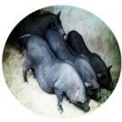 实验用环江小型猪