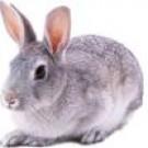 实验用青紫蓝兔