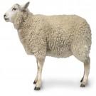 实验用绵羊